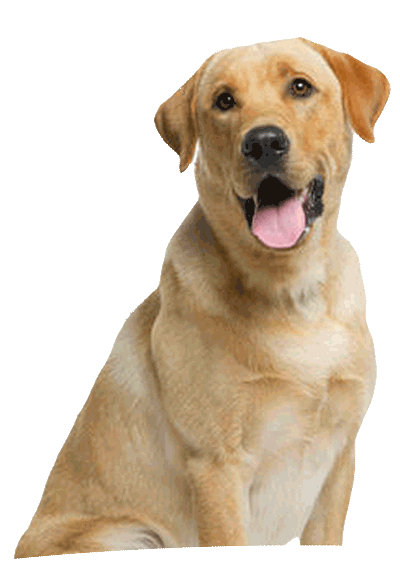 dog grooming franchise labrador dog
